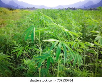 Marijuana in morning light from Asia. cannabis bloom Plants nature of farm field with green.