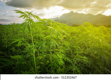 Marijuana in morning light from Asia.The landscape photo asia, background mountain  Marijuana bloom Plants nature of farm field with green, Planted legal ,Thickets cannabis plants weed marihuana.