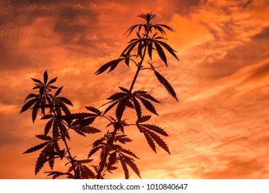Marijuana outdoors silhouette. Plants of cannabis in sunlight