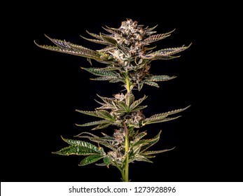 Marijuana Plant Branch with Buds and Leaves Isolated by Black Background
