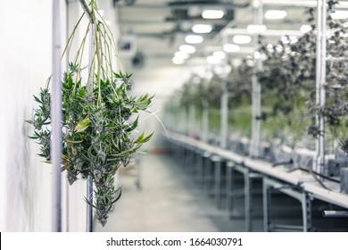 Succursales de plantes de marijuana avec des bourgeons accrochés pour la récolte