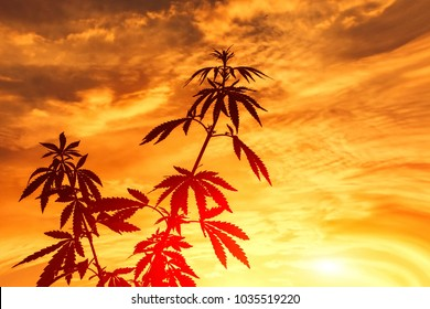 Marijuana plant budding outdoors at sunset. Fresh agricultural hemp, cannabis  grows in the countryside