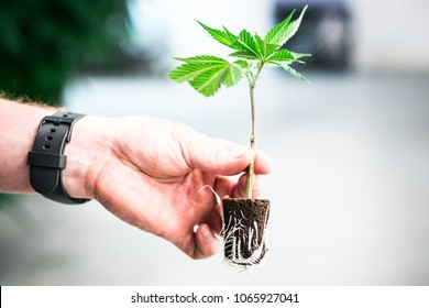 A marijuana plant in the clone stage with roots shown through soil grown at a recreational