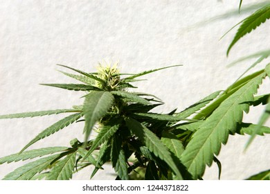 A marijuana plant in close up against a white wall