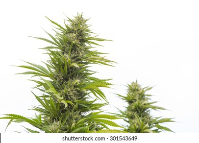 Marijuana plant closeup, legally grown in California for medical purposes, ripe and ready for harvesting.