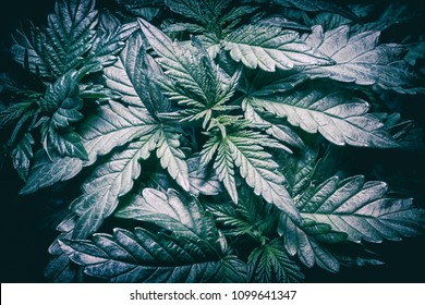 Marijuana plant closeup showing leaf details