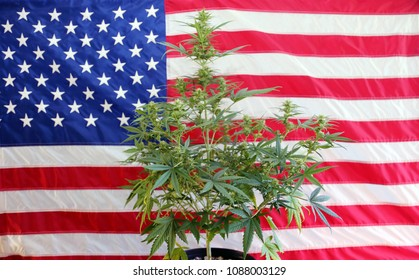 Marijuana Plant in front of an American Flag. Female Marijuana Flowers. Inside a house.