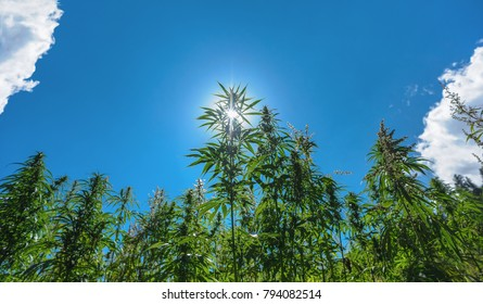 A Marijuana plant grow on the himalayan mountain in india very high plant about 3 meter high on a blue sky with 2 clouds on the sides, its an oily plant for making Jarhass and smoke it