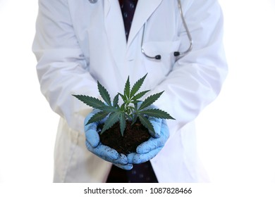 Marijuana Plant in hands. A farmer holds a marijuana plant in his hands.