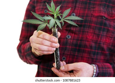 Marijuana Plant in hands. A farmer holds a Medical marijuana plant seedling in a test tube in his hands.  Isolated on white with room for text.