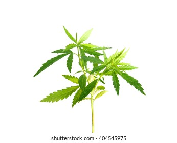 Marijuana plant isolated on white background (with clipping path)