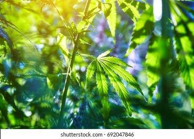 The marijuana plant and leaves in the open air at sunset