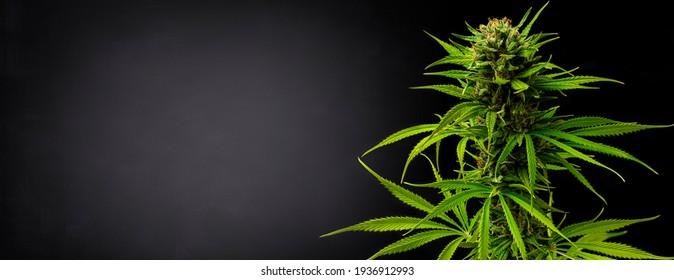 Marijuana plant on black gradient background in banner format