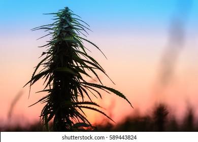 Marijuana plant on sunset sky background