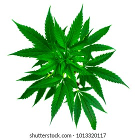 Marijuana plant on a white background. Isolated.