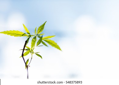 Marijuana plant seedling growing from seed  on a bright summer day. Close up.
