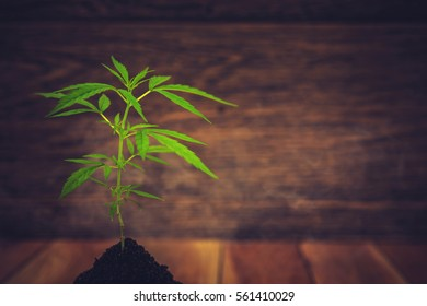 Marijuana plant seedling growing from seed , with Flat Vintage Style
