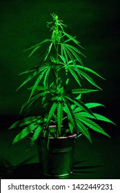 Marijuana Plant Shot Inside A Studio
