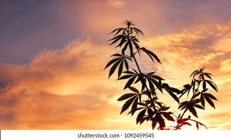 Marijuana plants before harvest time in sunshine. Thematic photos of cannabis, green leaf, background image