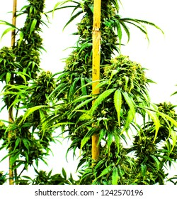 Marijuana Plants and Buds Growing on a Cannabis Farm