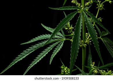 Marijuana plants CBD, on a black background. Cannabis cultivation.  Growing hemp. Shallow depth of field. Selective focus. Healthcare with medical cannabis.