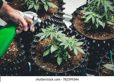Marijuana plants. Green cannabis