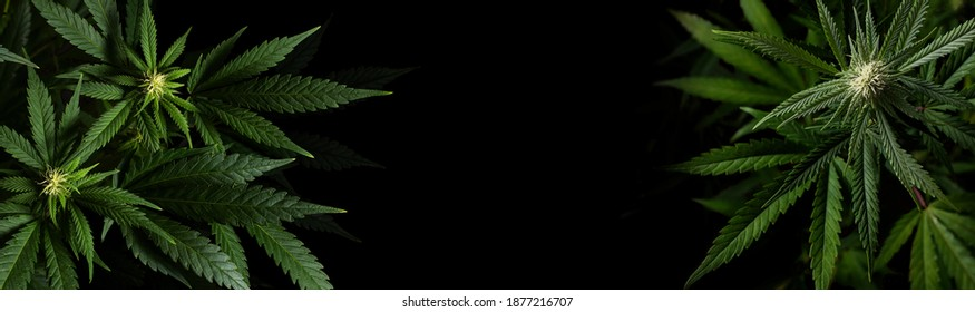 marijuana plants on black background with space for text in banner format
