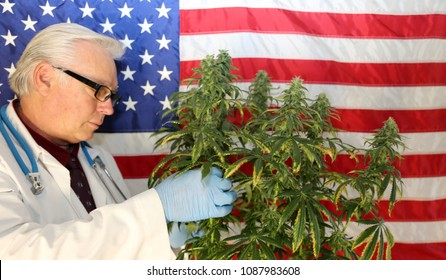 Marijuana Research. Marijuana Research Chemist checks his Female Flowering Marijuana Plant in America. .