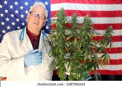 Marijuana Research. Marijuana Research Chemist checks his Female Flowering Marijuana Plant in America. .