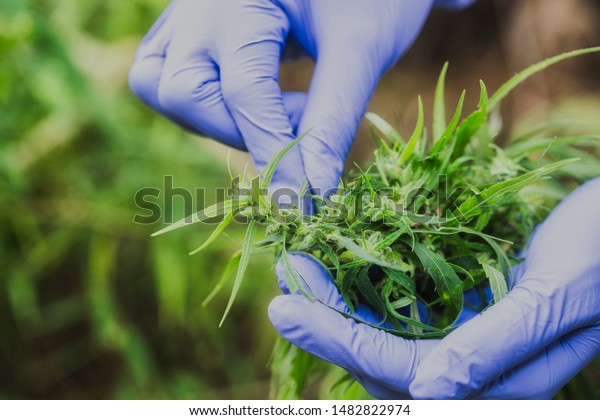 Marijuana Researcher, Female scientist in a hemp field checking plants and flowers, alternative herbal medicine concept.