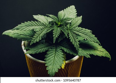 marijuana seedling medical indica hybrid with green leaves in a pot on a black background, beautiful wallpaper background