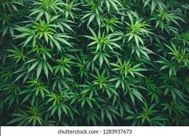 marijuana wallpaper, texture abstraction, many leaves of marijuana a hybrid of sativa andindica in greenhouse plantation