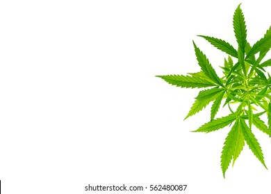marijuana white background isolate