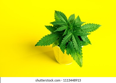 marijuana young cannabis plant on a bright yellow background