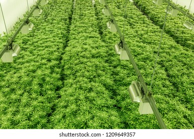 Marijuana/Cannabis Plants in a Government sanctioned Grow Facility
