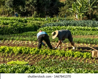 Marilia, Sao Paulo, Brazil, July 01, 2019. Farmer works in a vegetable garden of a small family farm in the city of Marilia
