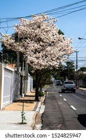Marilia, Sao Paulo, Brazil, September 09, 2019. Ipes white tree flowering on street in the municipality of Marilia