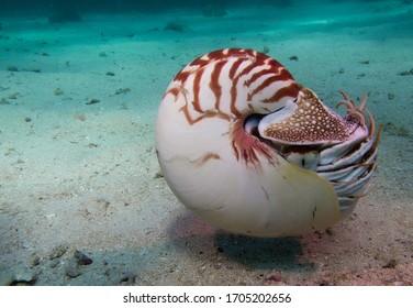 marine animal nautilus in natural habitat