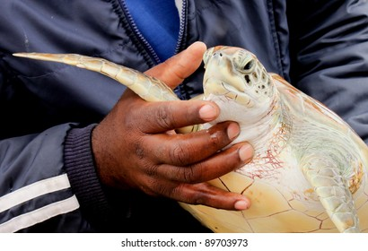 A marine biologist holding an injured turtle