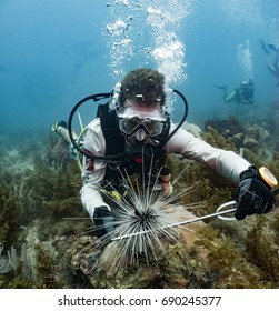 Marine Biologist studying black spiny sea urchins in Honduras