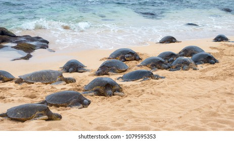 Marine Biology adult female sea turtles arriving to sandy shores to lay their eggs