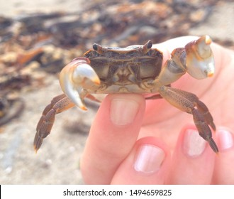 Marine biology: Marine biologist holding shore crab (Crustacean) over intertidal rocky shore. Marine research on ocean animals marine life education. Ocean ecologist coast outdoor fieldwork day.