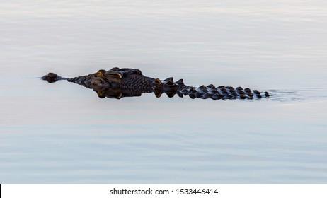 marine crocodile (Crocodylus porosus) in a billabong