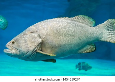 Marine fish or grouper dragon  the scientific name of Epinephelus lanceolatus in the family of grouper Serranidae is typical. With relatively large heads wide mouths small eyes dorsal fins with strong