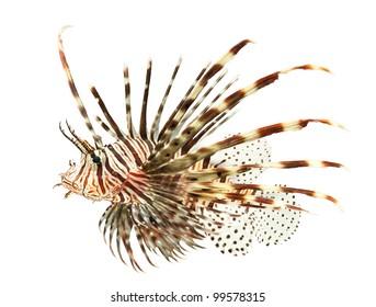 marine fish, lion fish isolated on white background