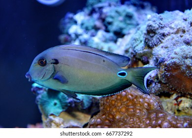 marine fish live in coral reef under the sea, popular to used as a pet in an aquarium or home fish tank.Doubleband surgeonfish, Acanthurus tennentil, Acanthuridae.