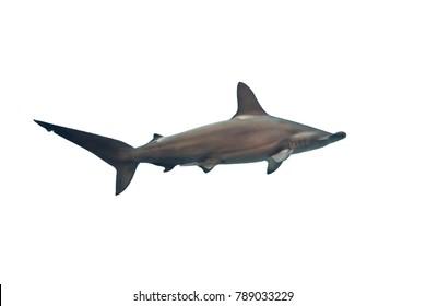 Marine fish on white isolated background. Hammerhead shark