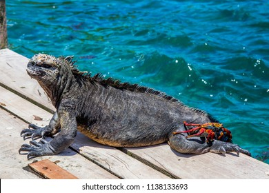 The Marine Iguana (Amblyrhynchus cristatus) and Galapagos crab. Isabela  island, Ecuador