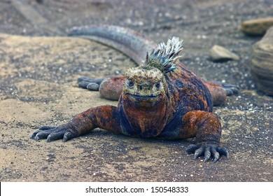 Marine iguana (Amblyrhynchus cristatus) on Santiago Island, Galapagos