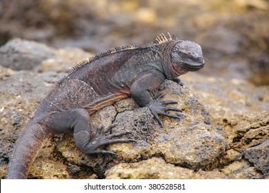 Marine Iguana (Amblyrhynchus cristatus) on Chinese Hat island, Galapagos National Park, Ecuador. This iguana found only on the Galapagos islands.